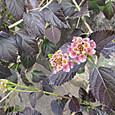 08 修性院にて 真冬のランタナの花
