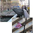 09 海老川橋と咲き始めた河津桜